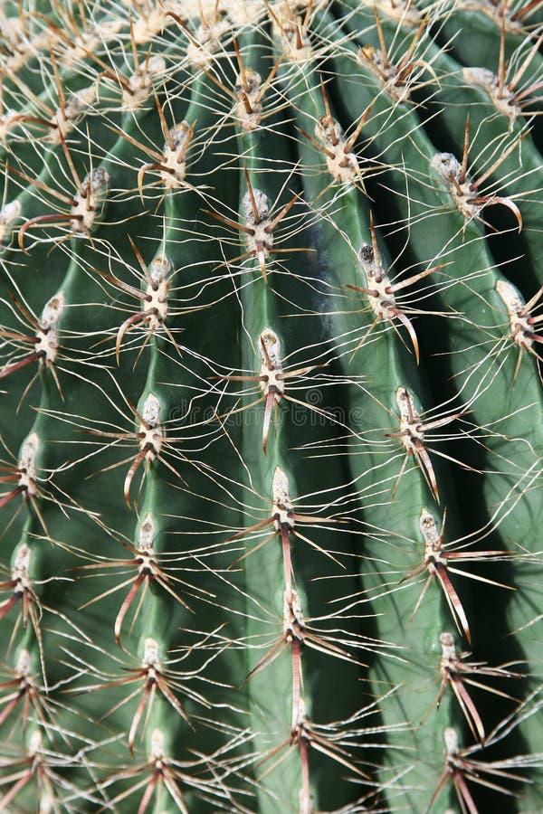 Fish-hook de Cactus van het Vat stock afbeelding