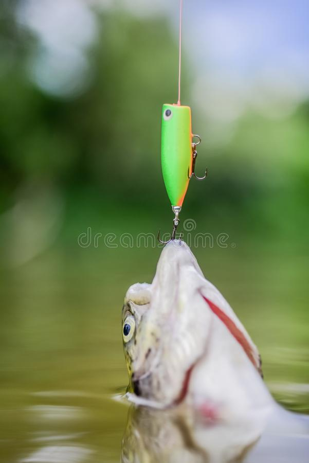 Fish on hook. stalemate and hopelessness. fishing on lake. Good catch. hobby and sport activity. fly fishing trout. Recreation and leisure. trout bait. catch royalty free stock photography