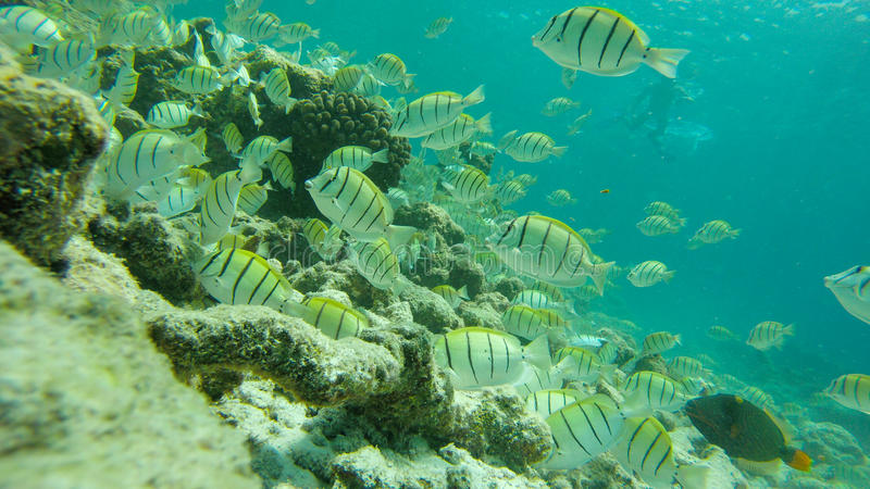 Snorkeling at Maldives (underwater life) stock photography