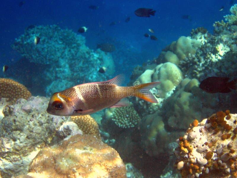 Download Fish : Humpnose Big-Eye Bream Stock Photo - Image: 4680546