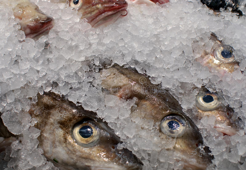 Fish on ice. Closeup of fish covered with ice royalty free stock image
