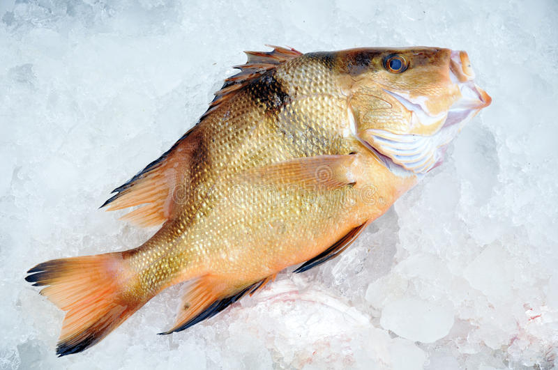 Fish in ice. Fresh fish in ice just to land will go to market stock image
