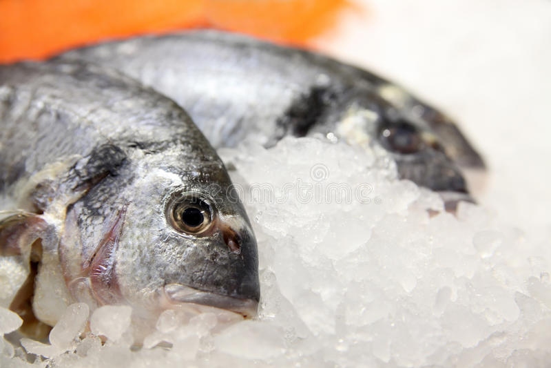 Fish on ice. Freshly caught Dorade fish on ice. Species: Sparus aurata stock photos