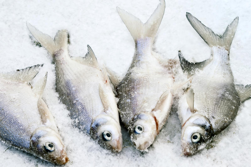 Fish on the Ice. Fresh fish on the lake ice, outdoor shot with particular focus royalty free stock photography