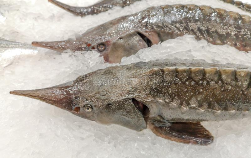 Fish in the ice on the shelf of the market.  royalty free stock image