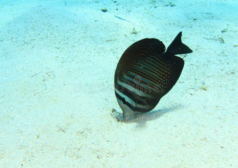 Fish - Indian sailfin tang stock photography
