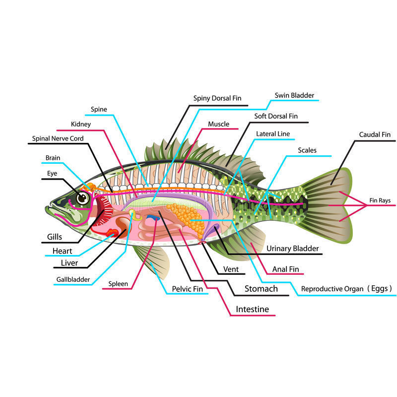 Fish Internal Organs Vector Art Diagram Anatomy With Labels Stock