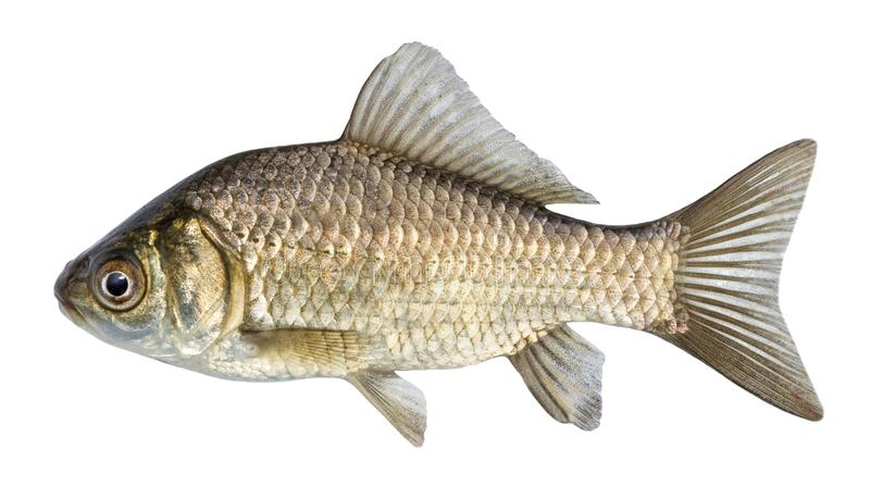 Fish isolated, river crucian carp with scales and fins. royalty free stock image