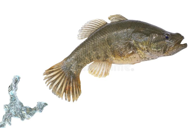 Download Fish Jumping Out Of A Water Stock Image - Image: 10633171
