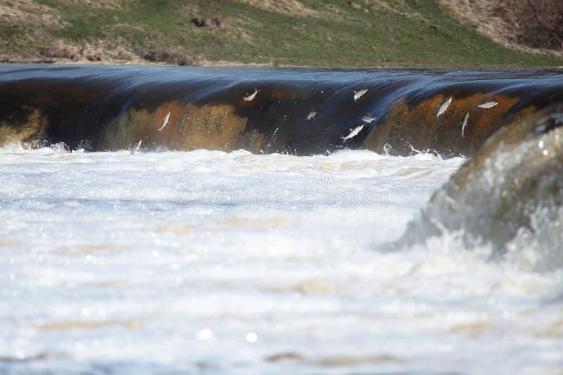 Fish jumping in waterfall stock photos