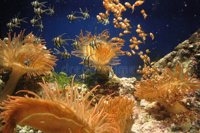Fish kindergarten. Small anemonas and clown fishes among colorful corals stock photography