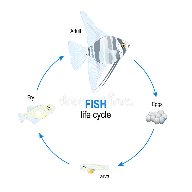 Fish life cycle from eggs to larva, fry and adult Angelfish. Vector diagram for educational, science, and biological use royalty free illustration
