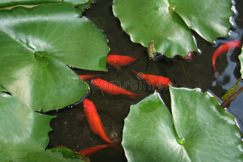 Download Fish And Lily Pads Royalty Free Stock Photography - Image: 1577077