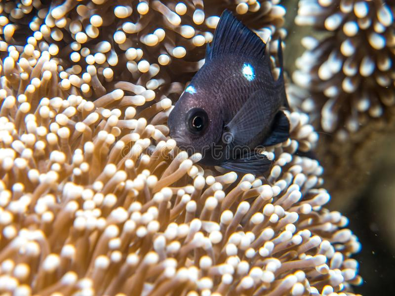 A fish that lives with an anemone stock photos