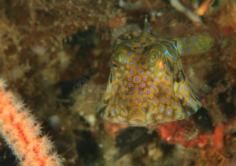 Young puffer fish stock image. Image of colourful, resting ...