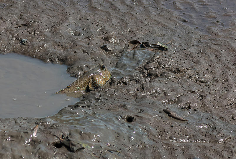 fish in mud royalty free stock image