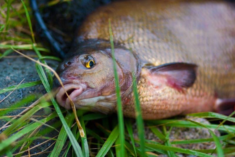 Fish names Carp. Frish catched fish names Carp royalty free stock photo