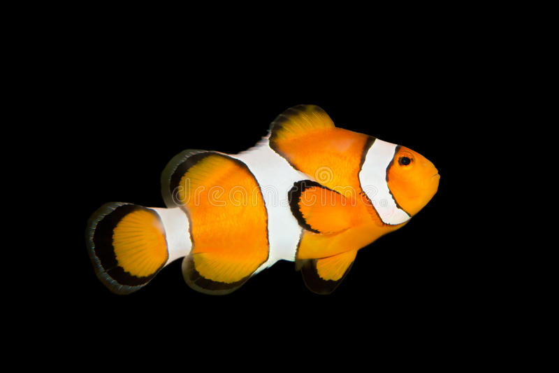 Fish nemo royalty free stock photography