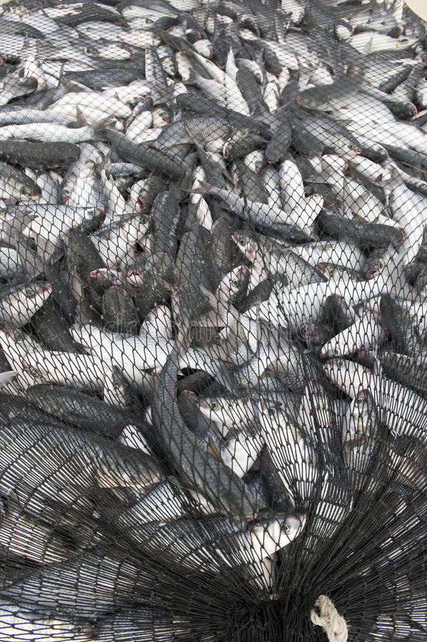 Download Fish in net stock image. Image of tuncurry, australia - 32127107