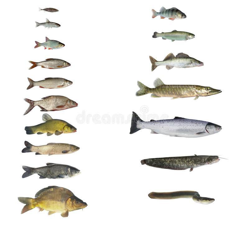 Free Fish Of Rivers And Lakes Royalty Free Stock Photo - 16775065