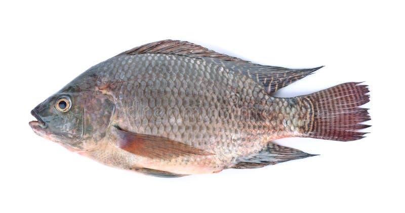 Fish,Oreochromis nilotica isolated on white background royalty free stock photography