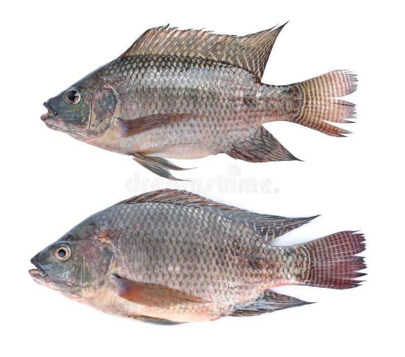 Fish,Oreochromis nilotica isolated on white background royalty free stock photos