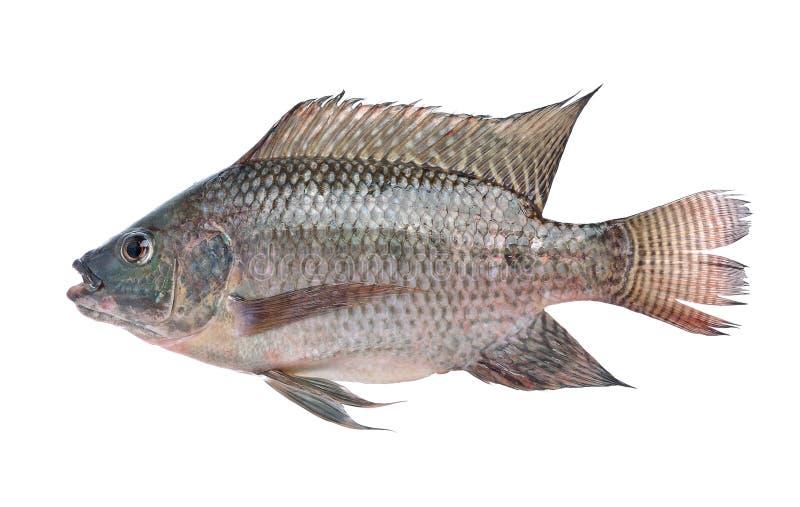 Fish,Oreochromis nilotica isolated on white background stock images