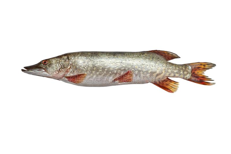 Fish pike isolated on white background - Fresh fish royalty free stock images