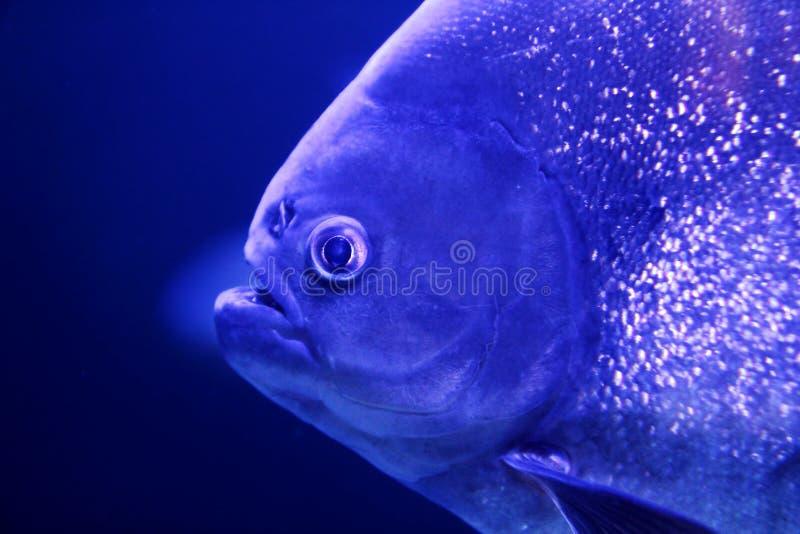 Fish Piranha Macro Face Detail Blue Color Water Stock Images