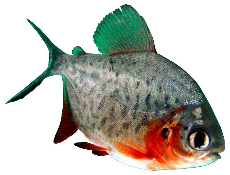 Fish Piranha Red Paku Of Colossoma Bidens Stock Photos