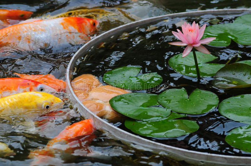 Fish in pond. Fish in Lotus pond eating bread royalty free stock images