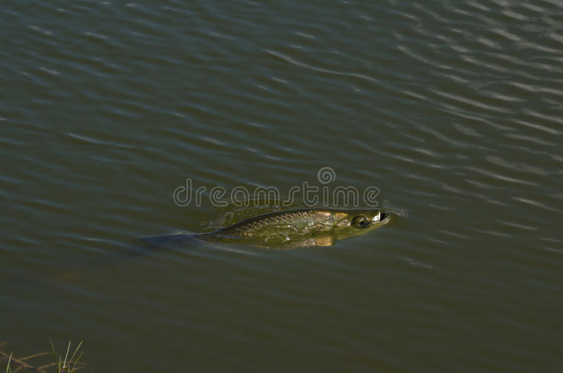 Fish In Pond royalty free stock photos