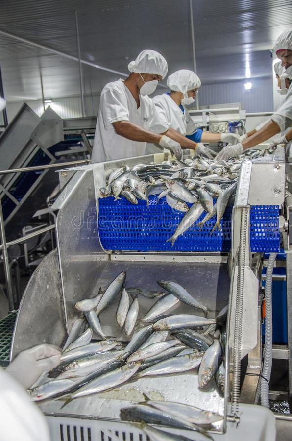 Fish processing for canning sardines stock photography