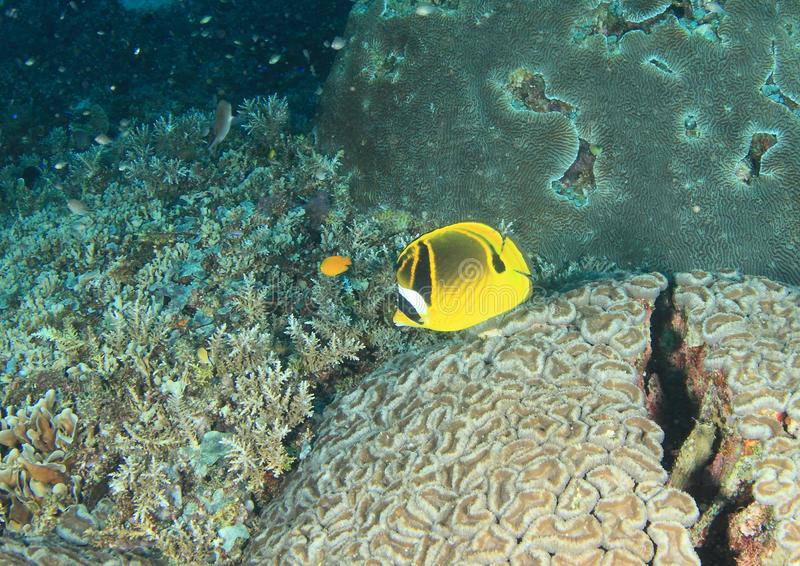 Fish Racoon butterflyfish stock image