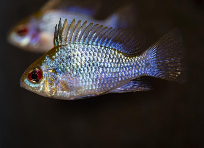 Fish ram Cichlid in tropical freshwater aquarium royalty free stock photos