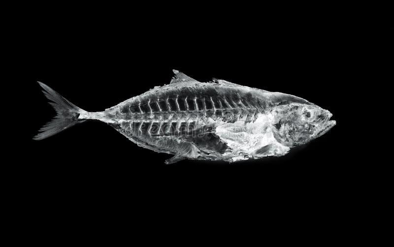 Fish x ray stock image