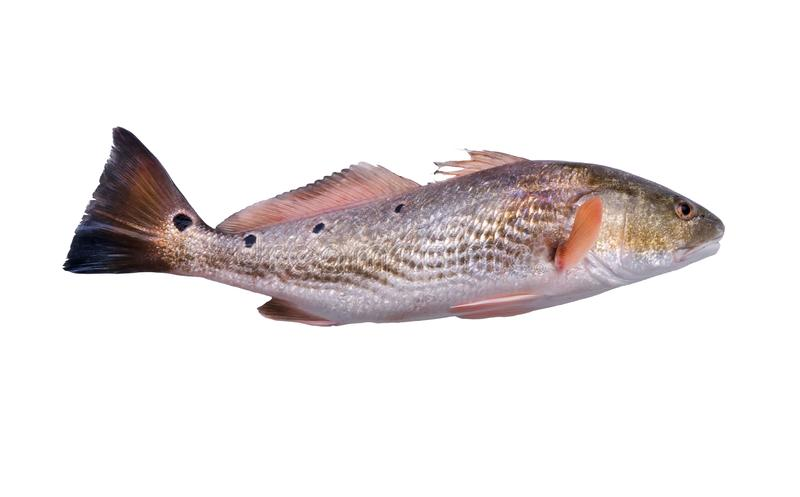 Fish  Red Drum Sciaenops ocellatus with four black dots  on white background. Isolated stock photography