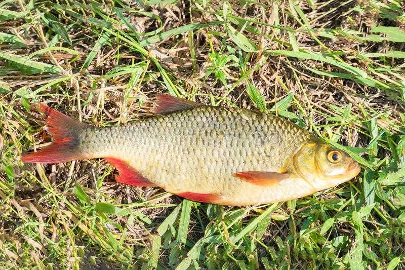 Fish with red fins on the grass royalty free stock photo