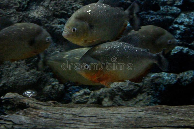 Fish : Red Piranha Pygocentrus nattereri. The red-bellied piranha, also known as the red piranha Pygocentrus nattereri, is a species of piranha native to South royalty free stock photography