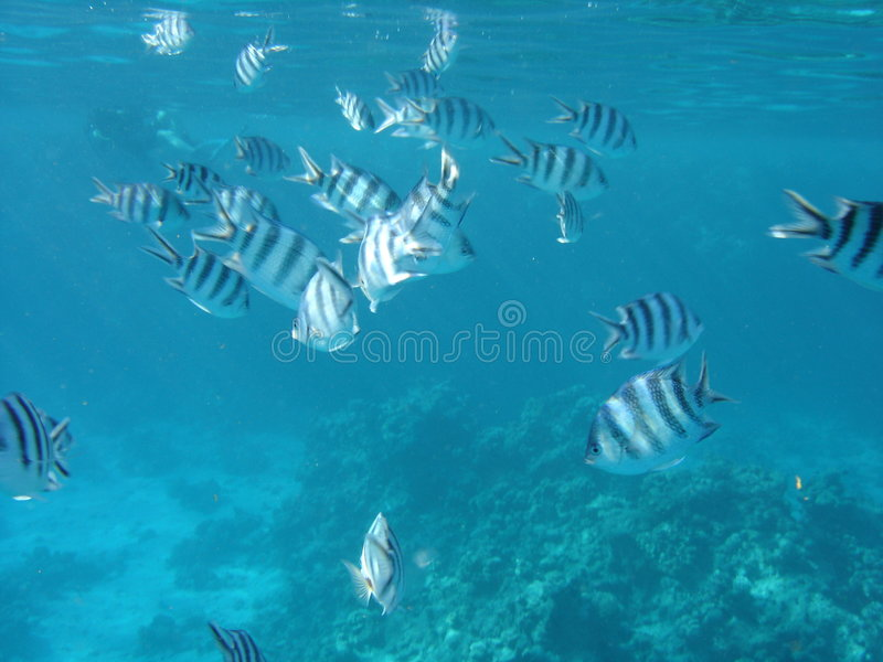 Download Fish in the Red Sea stock image. Image of snorkeling, fish - 2301985