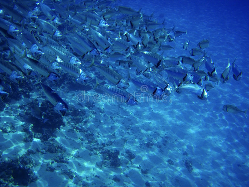 Sea ocean deep underwater fish school group life coral reef water background shoal under blue color scuba diver nature marine stock image