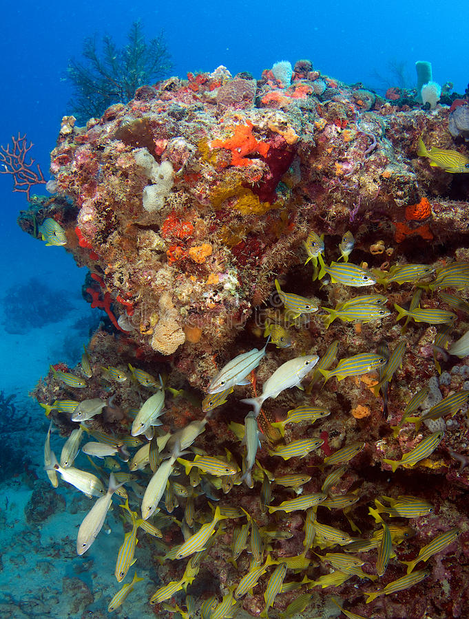 Download Fish on a Reef stock photo. Image of tropical, pacific - 25756018