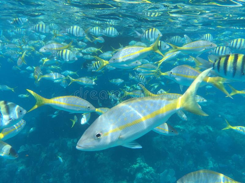 Fish on the reef. Beautiful, colorful, friendly fish on the Sombrero Reef in the Florida Keys stock photos