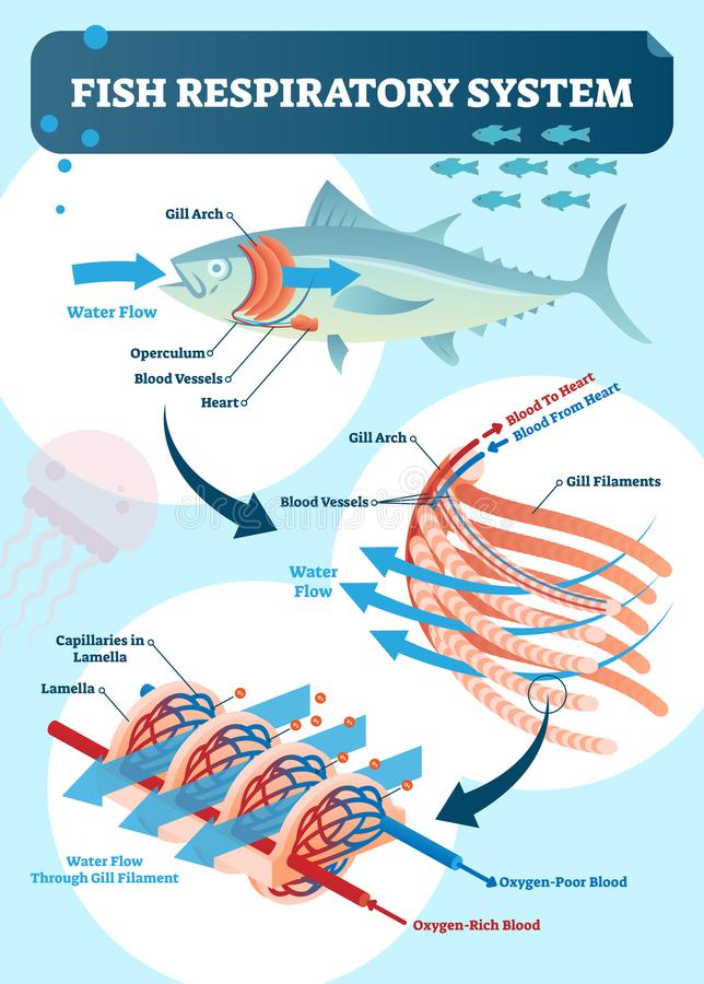 Fish respiratory system diagram vector illustration. Labeled anatomical scheme with gill arch, operculum, blood vessels and heart. stock illustration
