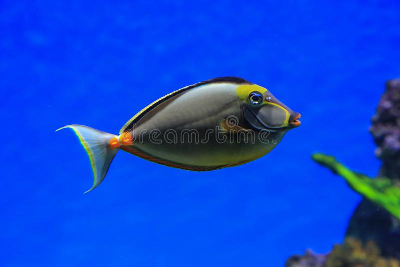 Fish - Rhino floats in blue water royalty free stock photo