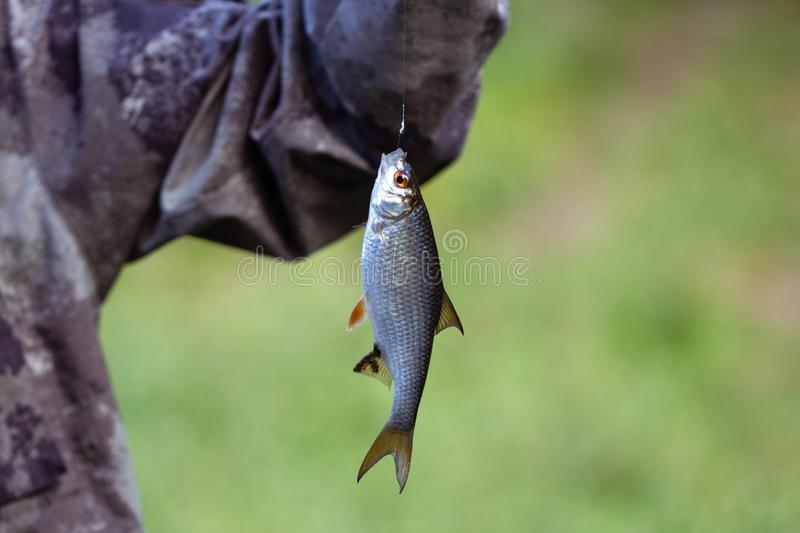 Fish small roach hanging on a hook on a green background closeup. A fisherman caught the fish dace, rutilus. Silver royalty free stock images