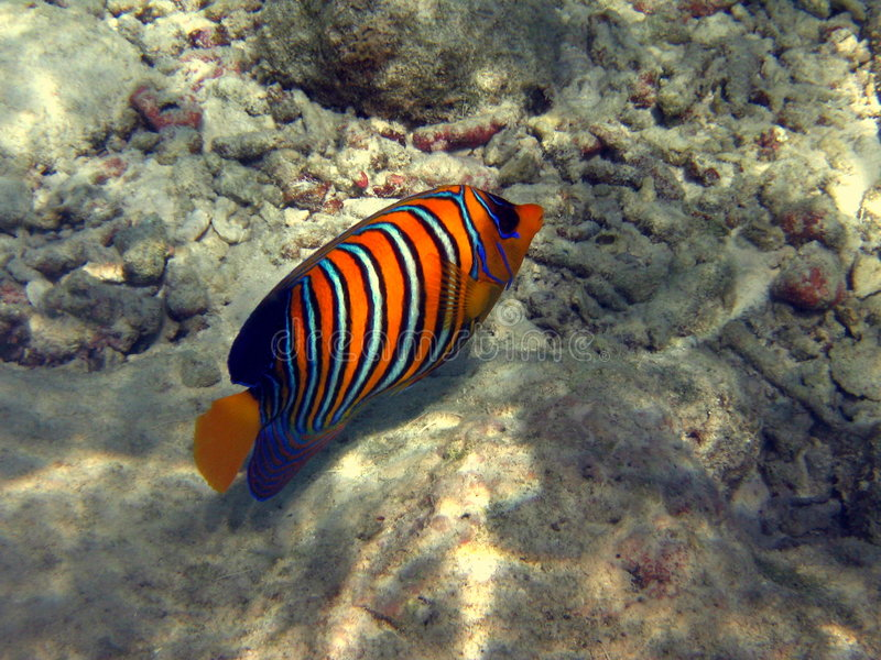 Fish : Royal Angelfish stock images