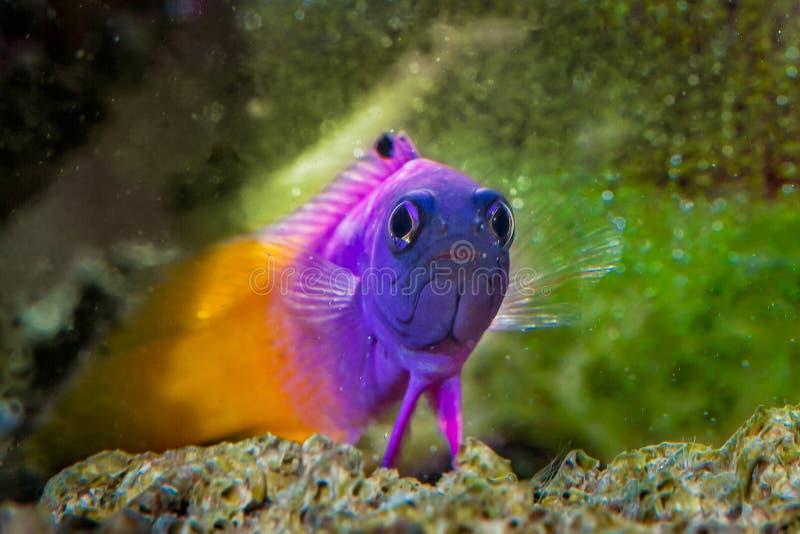 Fish Royal Gramma Basslet royalty free stock image