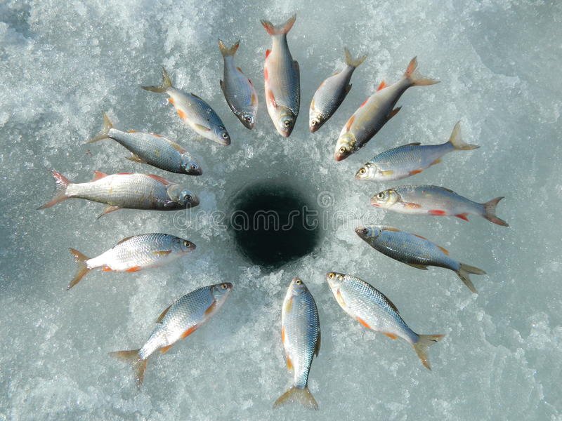Fish rudd stock photography