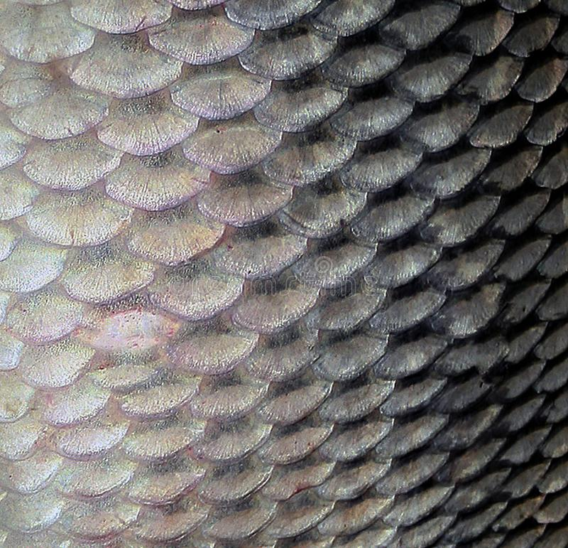 Fish scale big carp seafood Background royalty free stock image